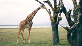 African Wild Giraffe In The Savannah Of Acacia Trees Eat Their Leaves And Bark