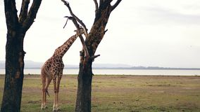 African Adult Giraffe In The Savannah Of Acacia Trees Eat Their Leaves And Bark