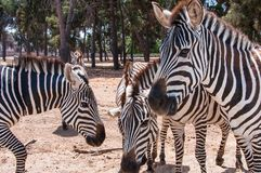 African wild horse with black-and-white stripes and an erect mane. Group portrait of Zebras. African wild horse with black-and-white stripes and an erect mane stock image