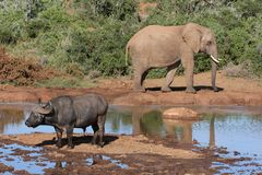 African Wild Life Scene Royalty Free Stock Photos