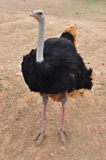 African wild ostrich Royalty Free Stock Photo