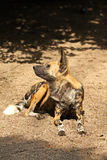 African Wild (painted) dog Stock Photography