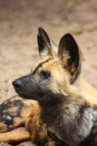 African Wild (painted) dog Stock Image