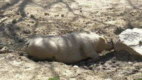 African wild pig - warthog. Warthog is scratching a snout against a stone stock video