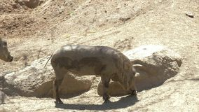 African wild pig - warthog. Slow motion twice stock video