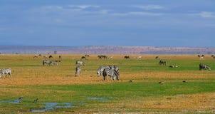 African Wild Zebra Stock Photo