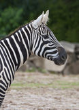 African wild zebra Stock Image
