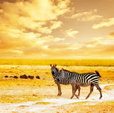 African wild zebras. African safari, zebras family and landscape of Amboseli National Park, Kenya, wild animals grazing on dry field grass over orange sunset Stock Photography