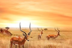 African wild zebras and wildebeest in the African savanna. Wild nature of Tanzania. royalty free stock image