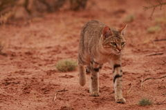 African Wildcat (Felis lybica). Stalks through the sparse grass of the Kalahari Desert in search of Brant's Whistling Rats Royalty Free Stock Image