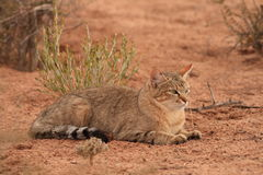 African Wildcat (Felis lybica). Stalks through the sparse grass of the Kalahari Desert in search of Brant's Whistling Rats Stock Image