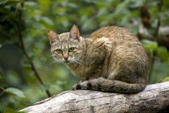 CHAT SAUVAGE D`AFRIQUE felis silvestris lybica