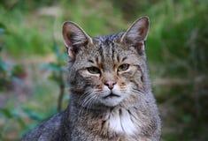 African wildcat (Felis silvestris lybica). In Kruger National Park Stock Images