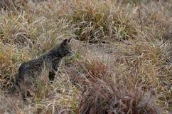 African wildcat (Felis silvestris lybica). In Kruger National Park Royalty Free Stock Images