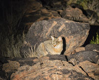 African Wildcat Stock Photography