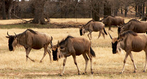 Wildebeest herd Royalty Free Stock Image
