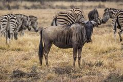 African wildebeest Royalty Free Stock Photography