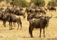 African Wildebeests Royalty Free Stock Photo
