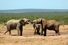 African wildlife. Two active African elephants fighting together with their trunks and tusks in South Africa: The elephant herd is watching a bull fight next to Stock Photography