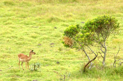 African wildlife. An Impala antelope standing in the African savanna of a game reserve watching other African wildlife Royalty Free Stock Photos