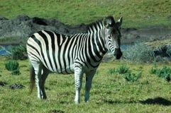 African wildlife royalty free stock photos