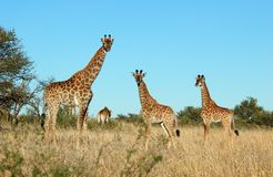 African Wildlife. Giraffe family in the bushveld of South Africa Royalty Free Stock Image