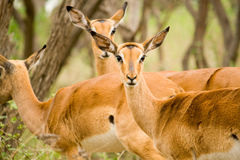 African wildlife Royalty Free Stock Photography