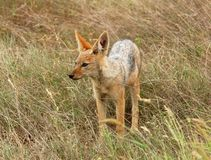 African Wildlife: Black-backed Jackal. A wild blackbacked jackal (Canis mesomelas)photographed in the Kruger Park, South Africa' savanna Royalty Free Stock Photography
