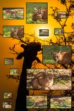 African Wildlife Collage. Caracal picture collage with giraffe eating at sunrise in Kruger National Park on the background Stock Photography
