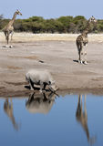 African wildlife - Etosha - Namibia. Wildlife at a busy waterhole in Etosha National Park in Namibia - Giraffe and a rare Black Rhinoceros Royalty Free Stock Images