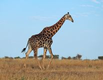 African wildlife: Giraffe. Giraffe in the bushveld of South Africa Royalty Free Stock Images