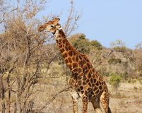 African Wildlife: Giraffe in Africa. Giraffe in the bushveld of South Africa Stock Photography