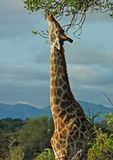 African Wildlife: Giraffe in Africa. Giraffe in the bushveld of South Africa reaching high for the best leaves Stock Images