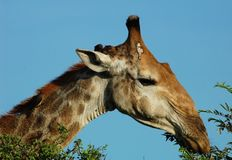 African Wildlife: Giraffe in Africa Royalty Free Stock Photography