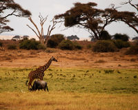 African Wildlife. A giraffe crosses the path of a wildebeest on the Kenyan savannah Stock Image