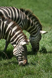 African Wildlife: Grazing Zebras. Closeup (head and neck) of two Zebras grazing on a grassy plain Stock Images