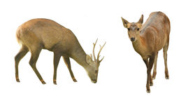 The African wildlife group on a white background. The image depicts male deer and female deer. Includes on a white background Stock Photos