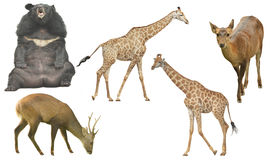 The African wildlife group on a white background Stock Images