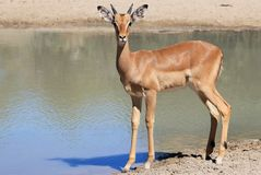 African Wildlife - Impala - Ram Reflection Stock Photography