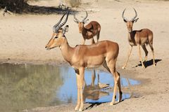 African Wildlife - Impala - Young Ram Rally Royalty Free Stock Photos