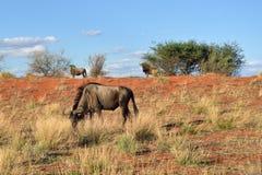 African wildlife. Kalahari desert, Namibia Royalty Free Stock Image