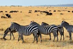 African wildlife, Kenya royalty free stock photos