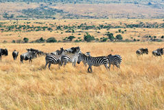 African wildlife Royalty Free Stock Photo