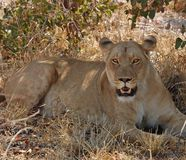 African Wildlife Lion. Female African Lion (Panthera leo) in heat Royalty Free Stock Photo