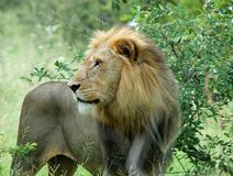 African wildlife Lion. Wild male lion (Panthera leo) in Africa Royalty Free Stock Image