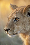 African wildlife - Lioness - Botswana. A young lioness (Panthera leo) in the Xakanixa region of the Okavango Delta in Botswana royalty free stock images