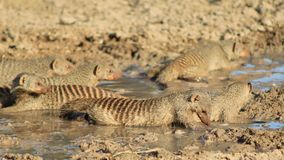 African Wildlife - Mongoose, Banded - Band of Brothers 3. A Banded Mongoose clan drinking water.  Photo taken on a game ranch in Namibia, Africa Royalty Free Stock Photos