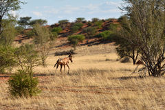 African wildlife, Namibia stock photo