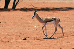 African wildlife, Namibia, sprigbok stock photo