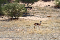African wildlife, Namibia, sprigbok Royalty Free Stock Images